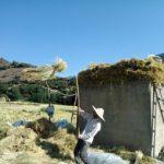 برداشت سنتی شالی در روستاهای مازندران