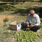گزارشی از برداشت گردو در مازندران