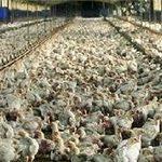 دولت برای تنظیم بازار 7500 تن مرغ از مرغداران مازندرانی خریداری کرد