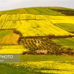 مزارع کلزا اطراف جامخانه/ عکس