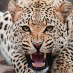 محیط زیست مازندران به دنبال سلاخ ۲ قلاده پلنگ