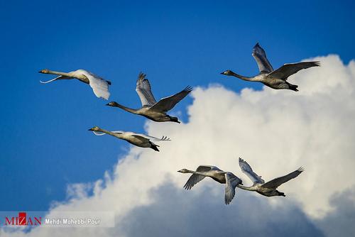 پرواز قوها بر فراز تالاب مازندران (عکس)