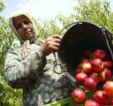 باغداران مازنی ۲ هزار تن شلیل صادر کردند