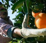 آغاز برداشت پرتقال در باغهای مرکبات مازندران