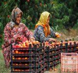 دیده نشدن؛ رنج مضاعف زنان کارگر فصلی در مازندران