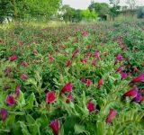 کشت گیاهان دارویی در مازندران دارای ساختار علمی شد