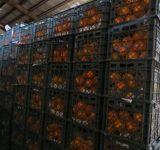سهم گمرکات مازندران از صادرات مرکبات، هیچ!