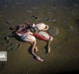 مرگ مشکوک ۶۰۰۰ پرندۀ مهاجر در میانکالۀ مازندران (+عکس)